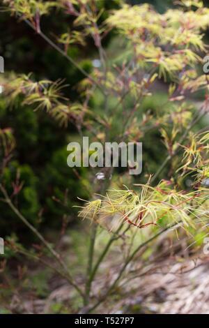Acer palmatum 'Villa Taranto' Japanese maple tree at the Oregon Garden in Silverton, Oregon, USA. - Stock Image