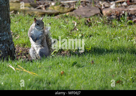 Image of Squirrel sitting up next to a tree. - Stock Image