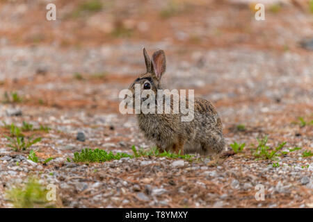 Eastern Cottontail Rabbit (Sylvilagus floridanus) on a gravel driveway in the spring in Michigan, USA. - Stock Image