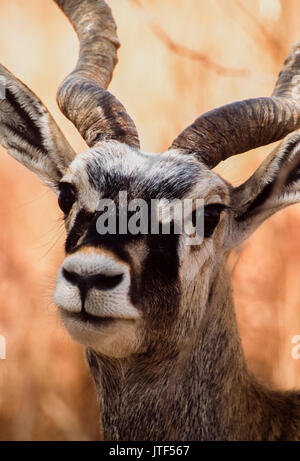 male Indian Blackbuck, (Antilope cervicapra), Blackbuck National Park, Gujarat, India - Stock Image