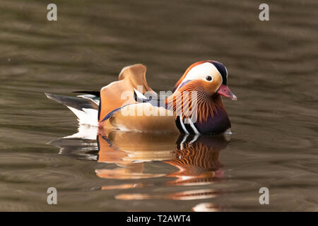 A Mandarin Duck on a pond in the New forest Hampshire UK. - Stock Image