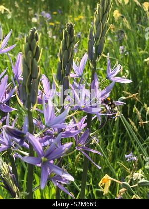Purple flower doused in sunlight, with bee collecting pollen. - Stock Image