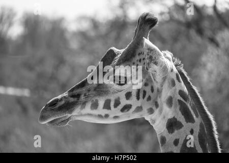 Black and white portrait of a Rothschild Giraffe. - Stock Image