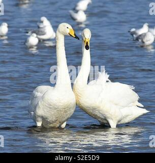 Swans - Stock Image