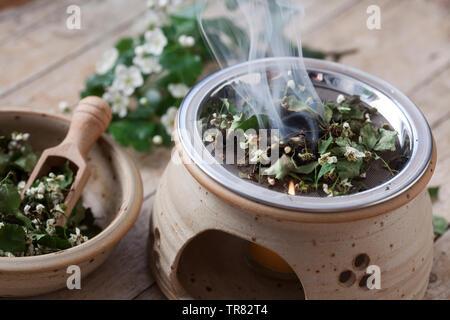 Räuchern mit getrockneten Weißdornblüten, Weißdorn-Blüten, Weißdorn, Weissdorn, Weiß-Dorn, Weiss-Dorn. Räucherritual, verräuchern, Duftkräuter, Duft, - Stock Image