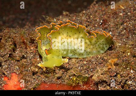 Ornate Sap-sucking Slug, Elysia ornata or Elysia marginata. Also known as Ornate Elysia or Ornate Leaf Slug. Tulamben, Bali, Indonesia. Bali Sea, - Stock Image
