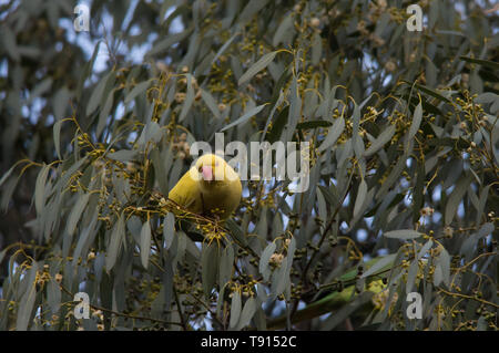 Yellow Parakeet sitting in a tree in Welwyn Garden City, England, UK. - Stock Image