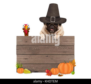 funny pug dog wearing pilgrim hat for Thanksgiving day, with blank wooden sign and turkey, isolated on white background - Stock Image