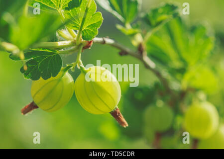 Two berries of ripe gooseberry with foliage and branches of a bush in nature - Stock Image
