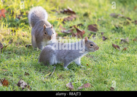 Stirlingshire, Scotland, UK - 14 December 2018: two grey squirrels - one of which has lost its tail - playing in a Stirlingshire garden on a very bright and cold day Credit: Kay Roxby/Alamy Live News - Stock Image