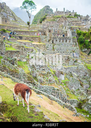 A llama eating grass in front of the Machu Picchu citadel - Stock Image