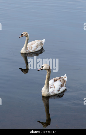 Picture of two young swans swimming together - Stock Image
