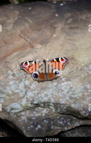 European peacock butterfly Aglais io with wings outstretched on a warm stone heated by sunshine viewed from the dorsal side. - Stock Image