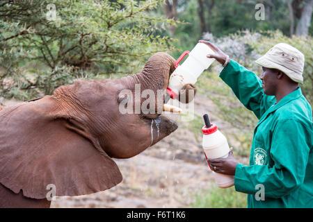 Keeper feeding a hungry orphan African Elephant Calf, Loxodonta africana, Sheldrick Elephant Orphanage, Nairobi, - Stock Image
