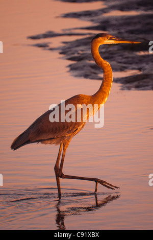 Great Blue Heron in the morning light - Stock Image