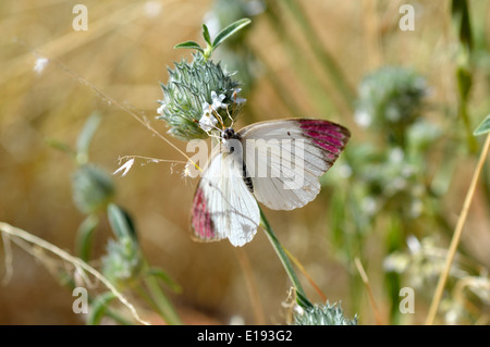 The Queen Purple Tip, Regal Purple Tip, or Large Violet Tip (Colotis regina: Pieridae) Namibia - Stock Image
