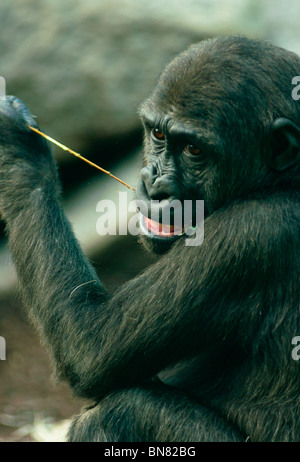Young Western lowland Gorilla chewing the leaves off a branch. - Stock Image