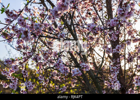 Prunus dulcis, almond tree in flower, pink blossom detail, in spring, Tenerife, Canary Islands, Spain - Stock Image