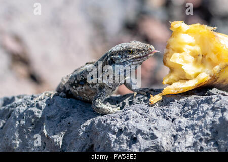 Wall lizard with tongue sticking out, resting on lava rock eating discarded banana, La Palma, Canary Islands, Spain - Stock Image