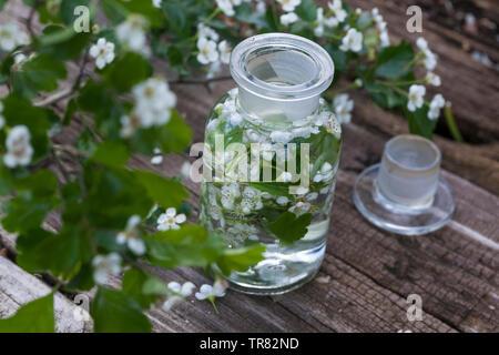 Tinktur aus Weißdornblüten, Weißdorn-Blüten, Weißdornblüten-Tinktur, Weißdorn-Blütentinktur, Weißdorn, Weissdorn, Weiß-Dorn, Weiss-Dorn, Blüten von We - Stock Image