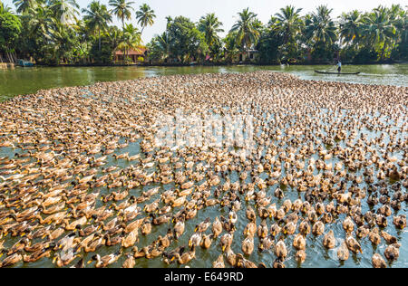 Ducks being herded along the waterway, Kerala backwaters, nr Alleppey, (or Alappuzha), Kerala, India - Stock Image