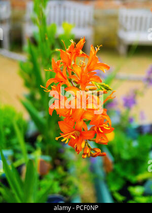Helmsley Walled Garden plant for sale Perennial Crocosmia variety Emily McKenzie - Stock Image