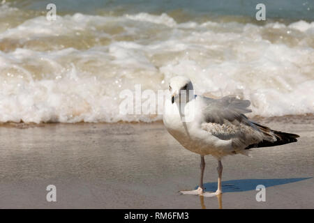 Wild seagulls are a frequent visitor to the beaches of the Baltic Sea. Here it was observed in Kolobrzeg, Poland. - Stock Image