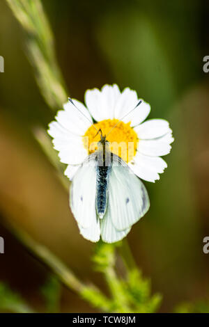 A small white butterfly Pieris rapae with its wings partially opened feeding from a large daisy flower on wasteland - Stock Image