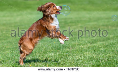 Cocker Spaniel dog bursts a soap bubble in mid-air. The animal is playing on a green grass field located on a city park - Stock Image