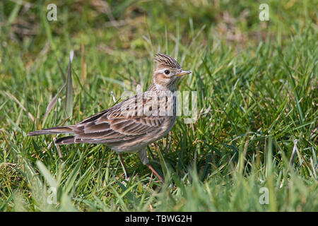 Eurasian skylark (Alauda arvensis) foraging in field / meadow with raised crest on head in spring - Stock Image
