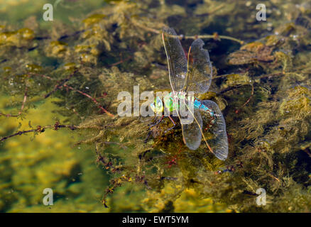 Big dragonfly sitting on plant over pond water. - Stock Image