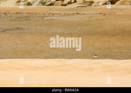 A amerikaanse oeverloper, spotter sand piper runs along a ridge on a golden sand beach, Cherating, Malaysia. - Stock Image