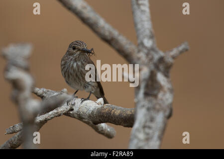 Spotted Flycatcher with insect prey in Andalucia - Stock Image