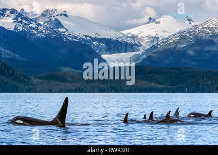 Orca whale (Orcinus orca) pod in Lynn Canal with Eagle Glacier and Coast Range in the background, Southeast Alaska; Alaska, United States of America - Stock Image