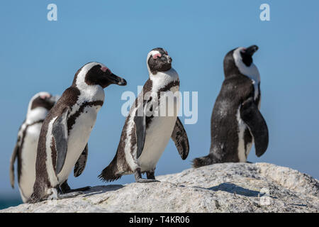 Four African penguins, Spheniscus demersus, standing on a rock and enjoying the sun, at Simonstown, South Africa - Stock Image