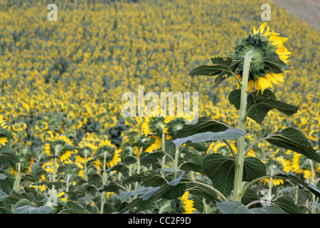 A large field of sunflowers in Italy. The back of one sunflower on the right is the main focus on the image. - Stock Image