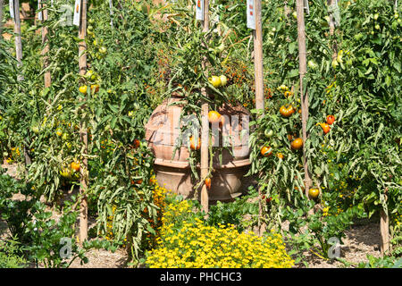 Tomatoes growing at Kittenberger Erlebnisgärten, a popular tourst destination in Lower Austria - Stock Image