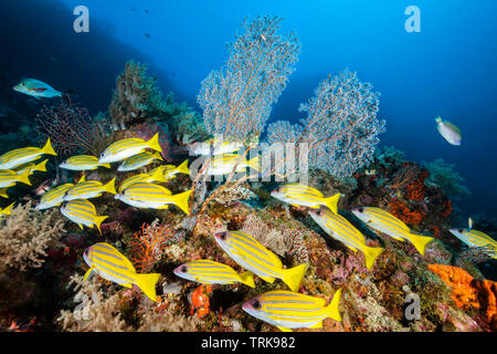 Shoal of Bluestripe Snapper, Lutjanus kasmira, Lissenung, New Ireland, Papua New Guinea - Stock Image