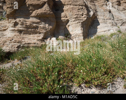Teide knapweed (Cheirolophus teydis), a rare, endemic plant in front of an outcrop of phonolitic pyroclastic deposits - Stock Image