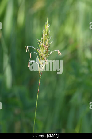 Grass flowering head with the male parts, anther and filament, hanging out in the wind to facilitate pollination. - Stock Image