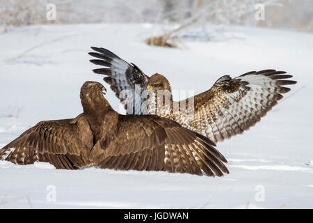 Common buzzards, Buteo buteo argue about feed, Mäusebussarde (Buteo buteo) streiten sich um Futter - Stock Image
