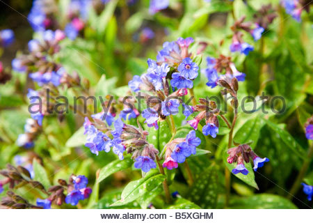 PULMONARIA LIME CLOSE LUNGWORT - Stock Image