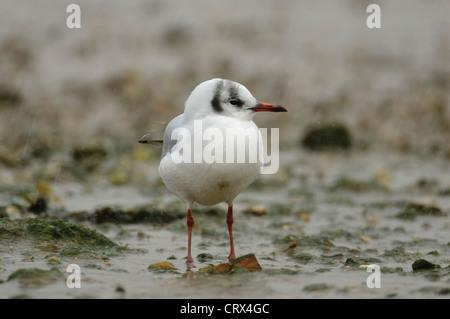 Black-headed gull (Larus ridibundus) standing in rain shower. Norfolk. November. - Stock Image