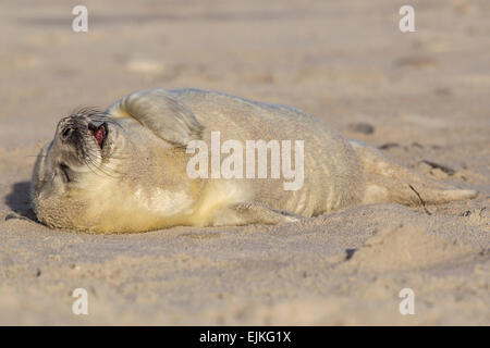 Grey Seal, Kegelrobbe, Halichoerus grypus, Helgoland, newborn seal pup on the beach yawning - Stock Image