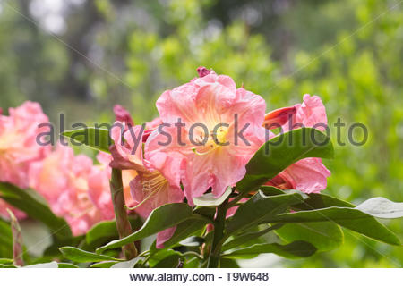 Rhododendron 'Bach Choir'. - Stock Image