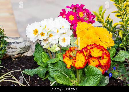 A group of bright Primrose Primula Vulgaris cultivars in a mixture of colours planted in the top of a low wall - Stock Image