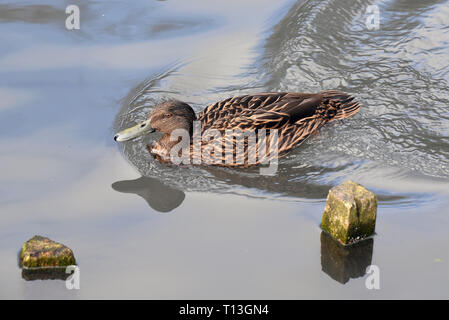 A Meller's Duck (Anas melleri) swimming fast on a small lake in Southern England. This endangered species is endemic to Eastern Madagascar - Stock Image