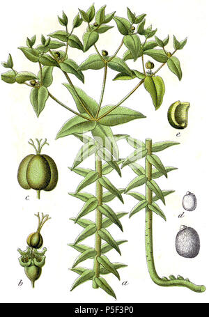 N/A. Euphorbia lathyris L., syn. Euphorbia lathyrus L. Original Caption Springwolfsmilch, Euphorbia lathyris . 1796. Johann Georg Sturm (Painter: Jacob Sturm) 535 Euphorbia lathyris Sturm33 - Stock Image