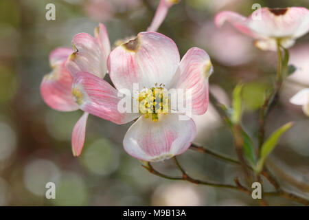 Cornus florida - Dogwood - April - Stock Image