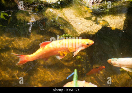 BT9RB1 Golden orfe in garden pond - Stock Image